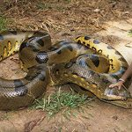 7 Jaw Dropping Facts About the Biggest Anaconda on Record